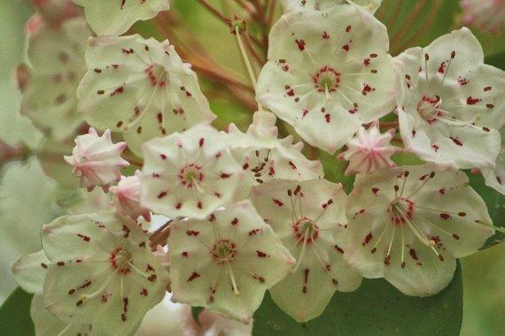 Mountain Laurel blooming 153